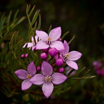 boronia-flower