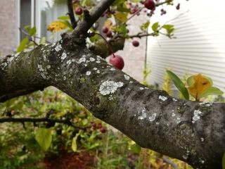 fungi_on_apple_trees_control
