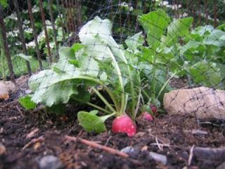 growing_radishes_tips_1